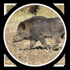 Feral Hog Fencing